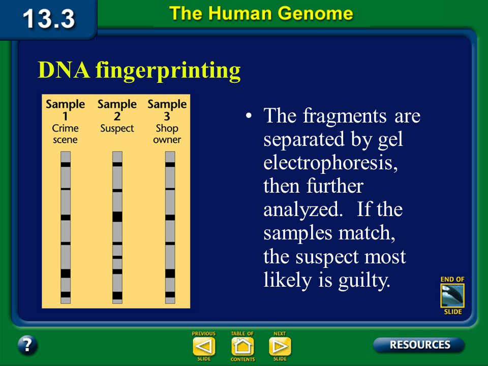 Section 13.3 Summary – pages 349 - 353 In a forensic application of DNA fingerprinting, a small DNA sample is obtained from a suspect and from blood, hair, skin, or semen found at the crime scene.