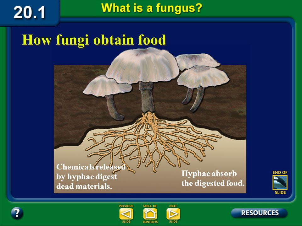 Section 20.1 Summary – pages 529-534 Fungi are heterotrophs, and they use a process called extracellular digestion to obtain nutrients. In this proces