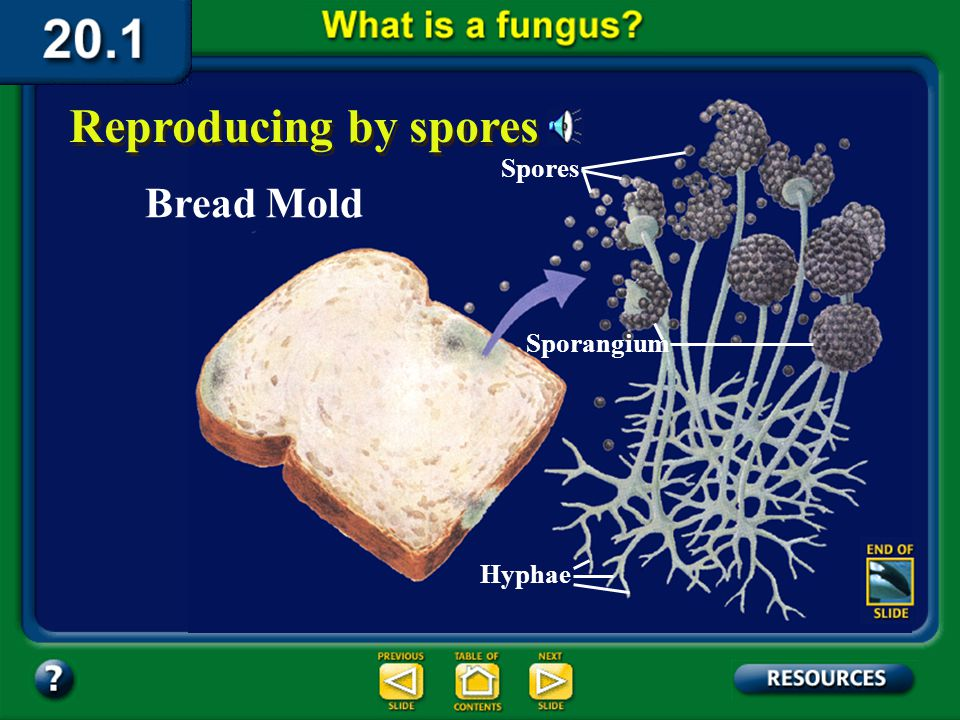 Section 20.1 Summary – pages 529-534 Most fungi produce spores. When a fungal spore is transported to a place with favorable growing conditions, a thr