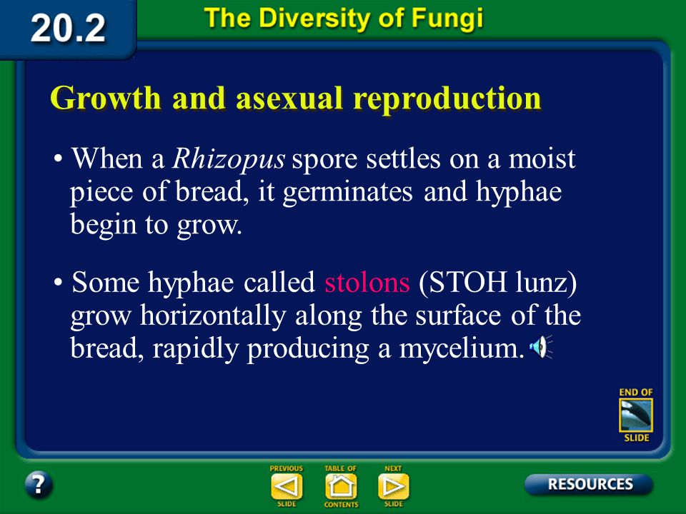 Section 20.2 Summary – pages 535-543 Zygomycotes reproduce asexually by producing spores. Zygomycotes They produce a different type of spore when they