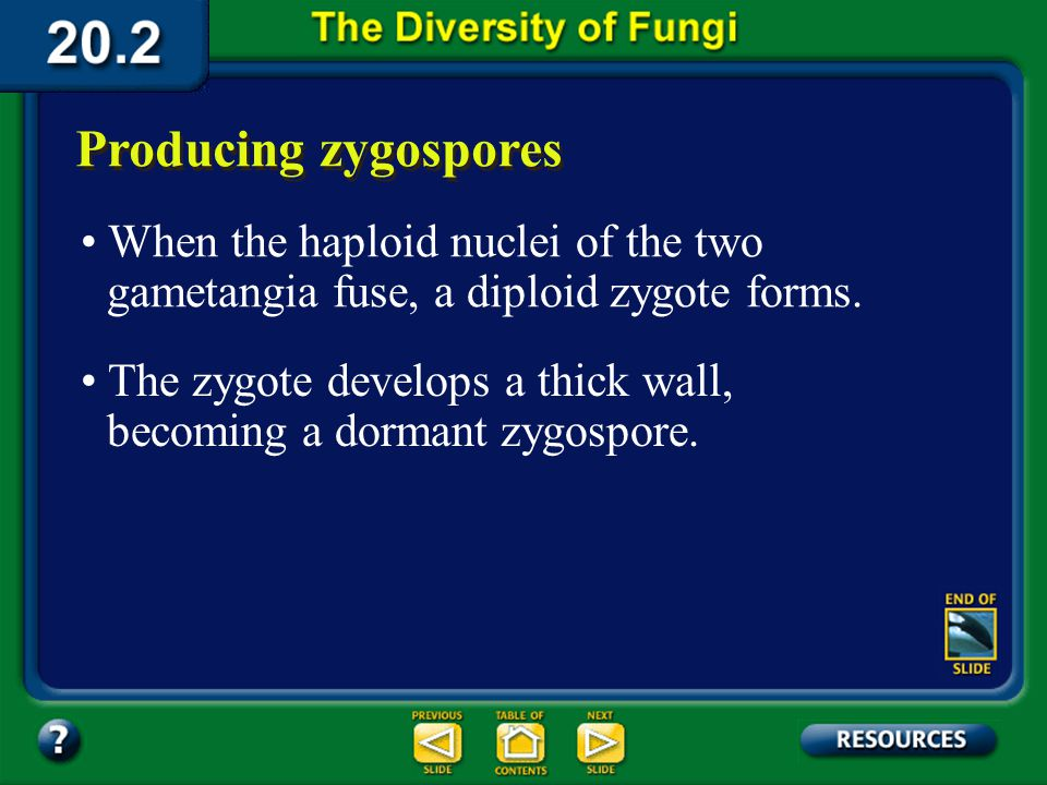 Section 20.2 Summary – pages 535-543 Producing zygospores Asexual ReproductionSexual Reproduction Rhizoids Stolon + Mating strain (n) - Mating strain