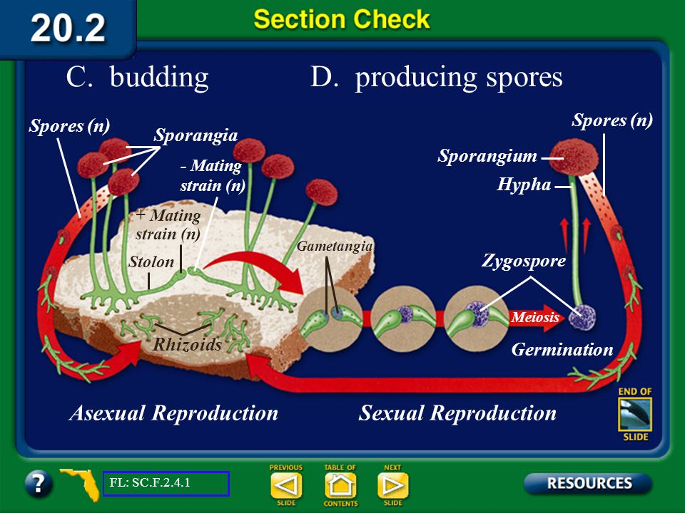 Section 2 Check A. producing zygospores B. fragmentation Asexual ReproductionSexual Reproduction Rhizoids Stolon + Mating strain (n) - Mating strain (