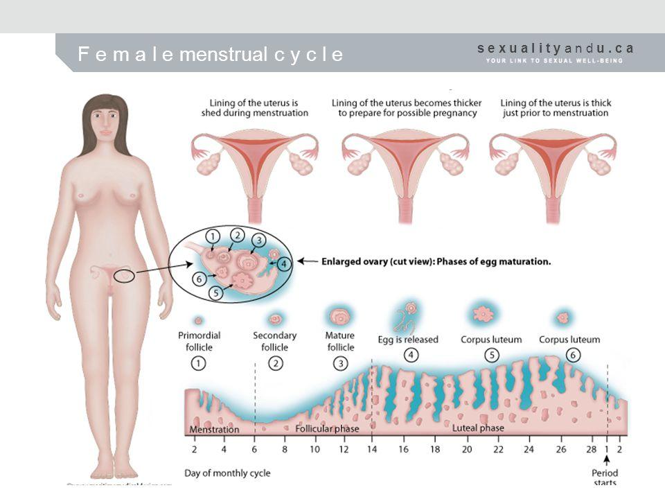 s e x u a l i t y a n d u. c a F e m a l e menstrual c y c l e