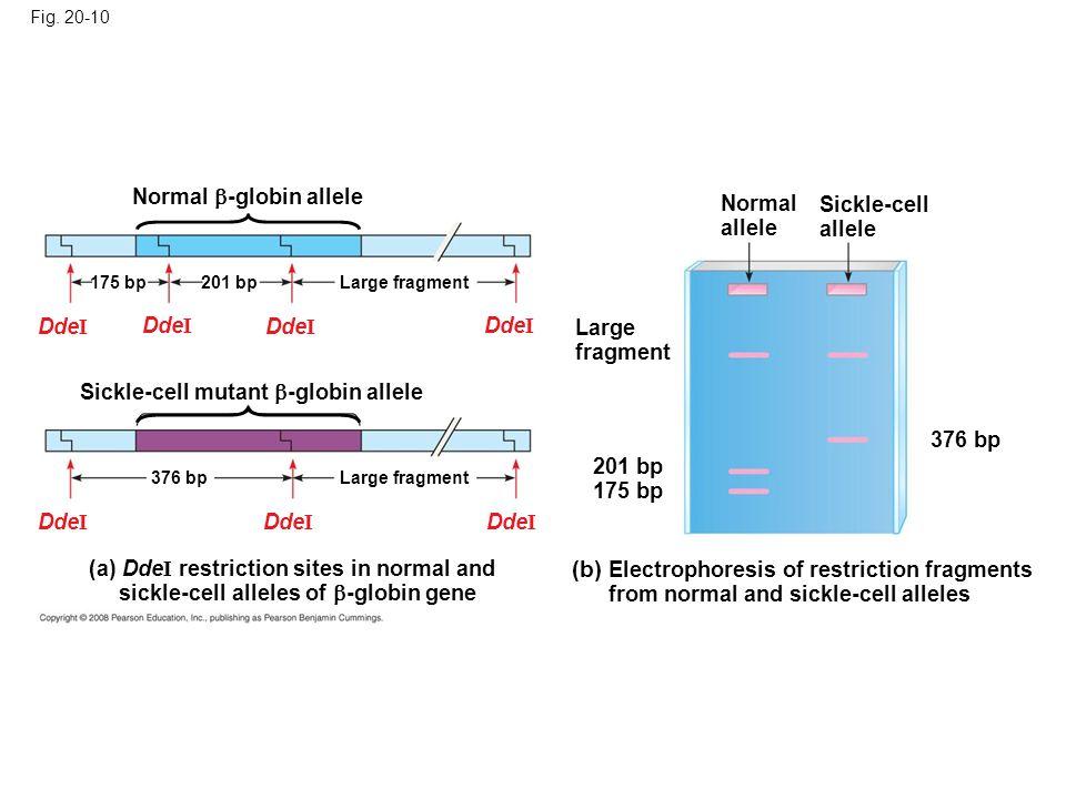 Fig. 20-10 Normal allele Sickle-cell allele Large fragment (b) Electrophoresis of restriction fragments from normal and sickle-cell alleles 201 bp 175