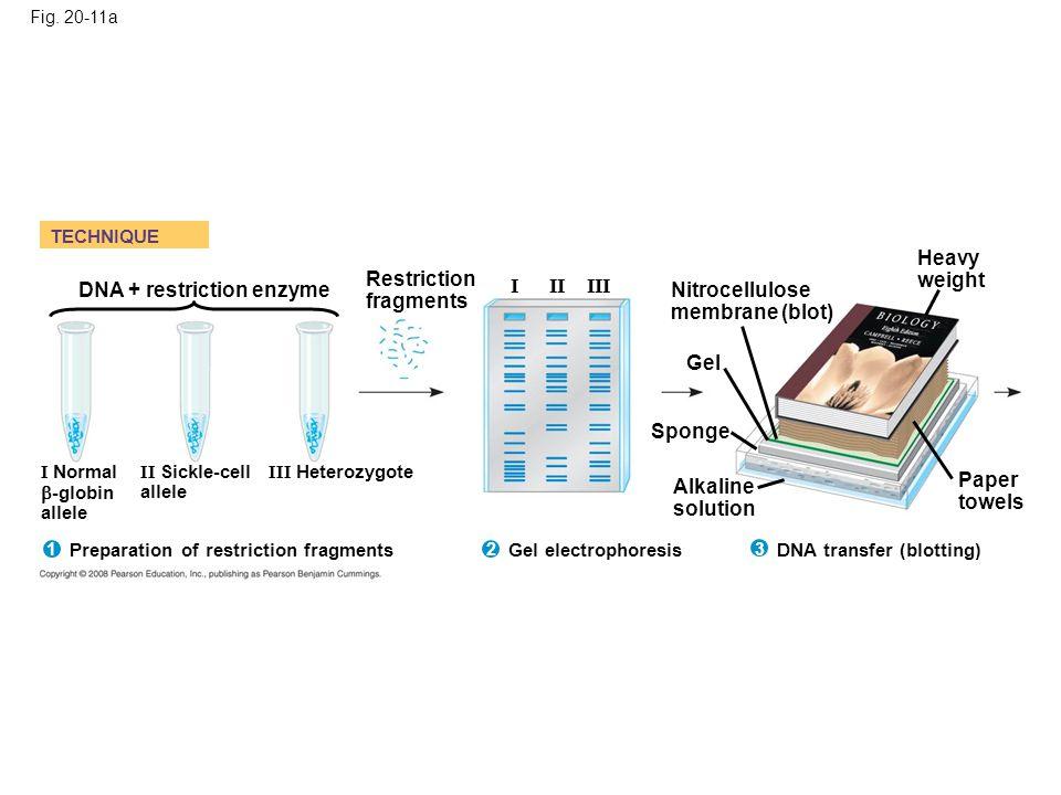 Fig. 20-11a TECHNIQUE Nitrocellulose membrane (blot) Restriction fragments Alkaline solution DNA transfer (blotting) Sponge Gel Heavy weight Paper tow