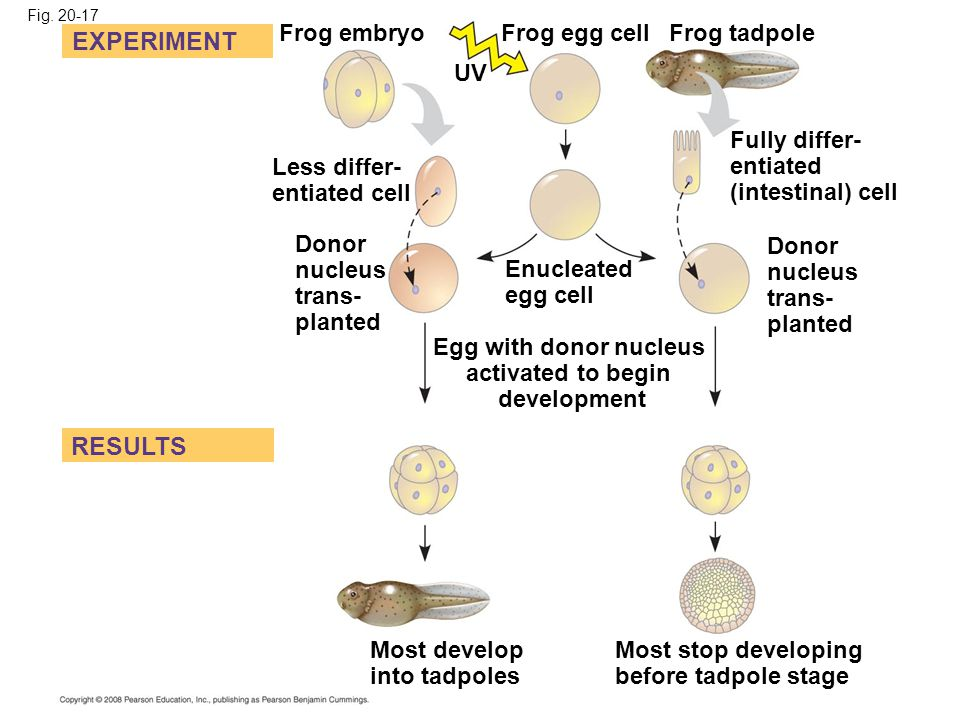 Fig. 20-17 EXPERIMENT Less differ- entiated cell RESULTS Frog embryo Frog egg cell UV Donor nucleus trans- planted Frog tadpole Enucleated egg cell Eg