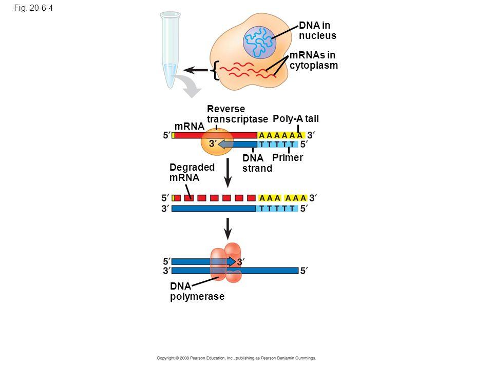 Fig. 20-6-4 DNA in nucleus mRNAs in cytoplasm Reverse transcriptase Poly-A tail DNA strand Primer mRNA Degraded mRNA DNA polymerase