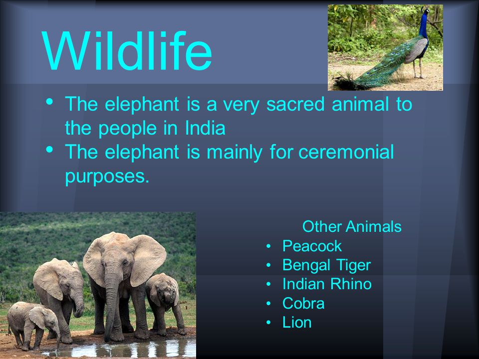 Wildlife The elephant is a very sacred animal to the people in India The elephant is mainly for ceremonial purposes.