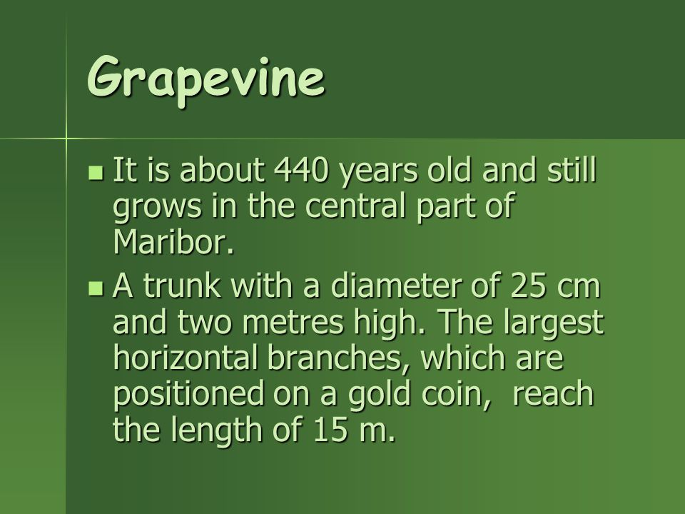 Grapevine It is about 440 years old and still grows in the central part of Maribor.