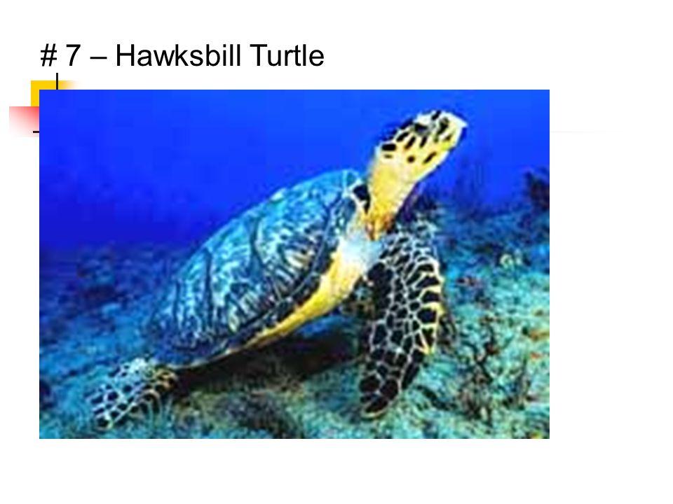 # 7 – Hawksbill Turtle