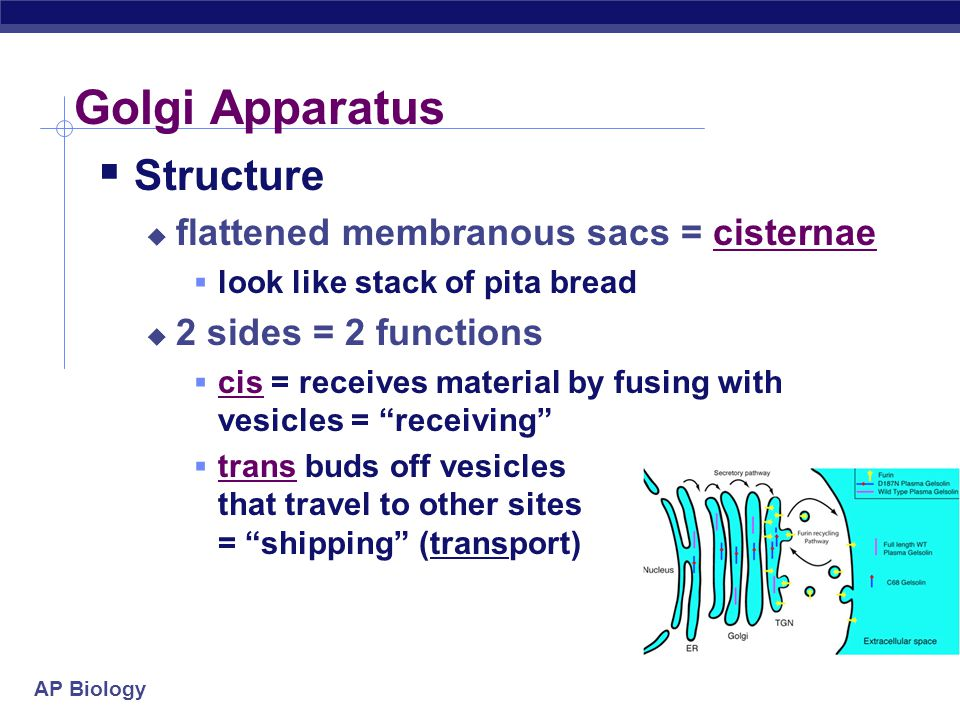 AP Biology Golgi Apparatus  Structure  flattened membranous sacs = cisternae  look like stack of pita bread  2 sides = 2 functions  cis = receive