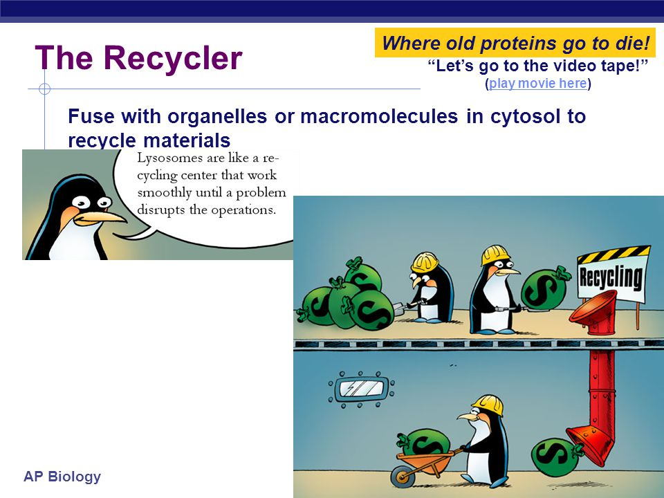 """AP Biology """"Let's go to the video tape!"""" (play movie here)play movie here The Recycler Fuse with organelles or macromolecules in cytosol to recycle ma"""
