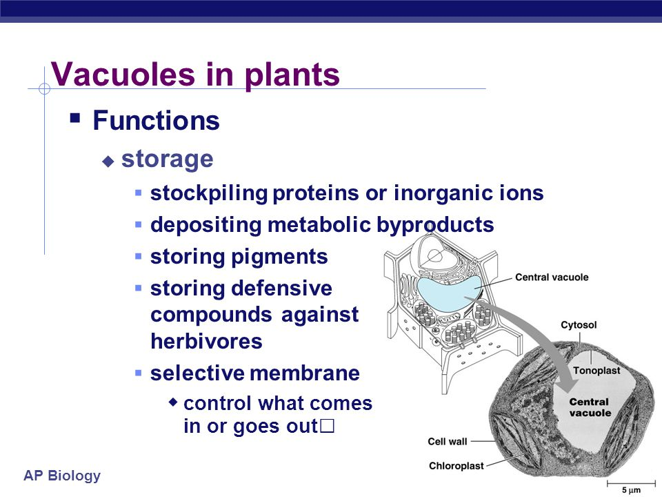 AP Biology 2005- 2006 Vacuoles in plants  Functions  storage  stockpiling proteins or inorganic ions  depositing metabolic byproducts  storing pi