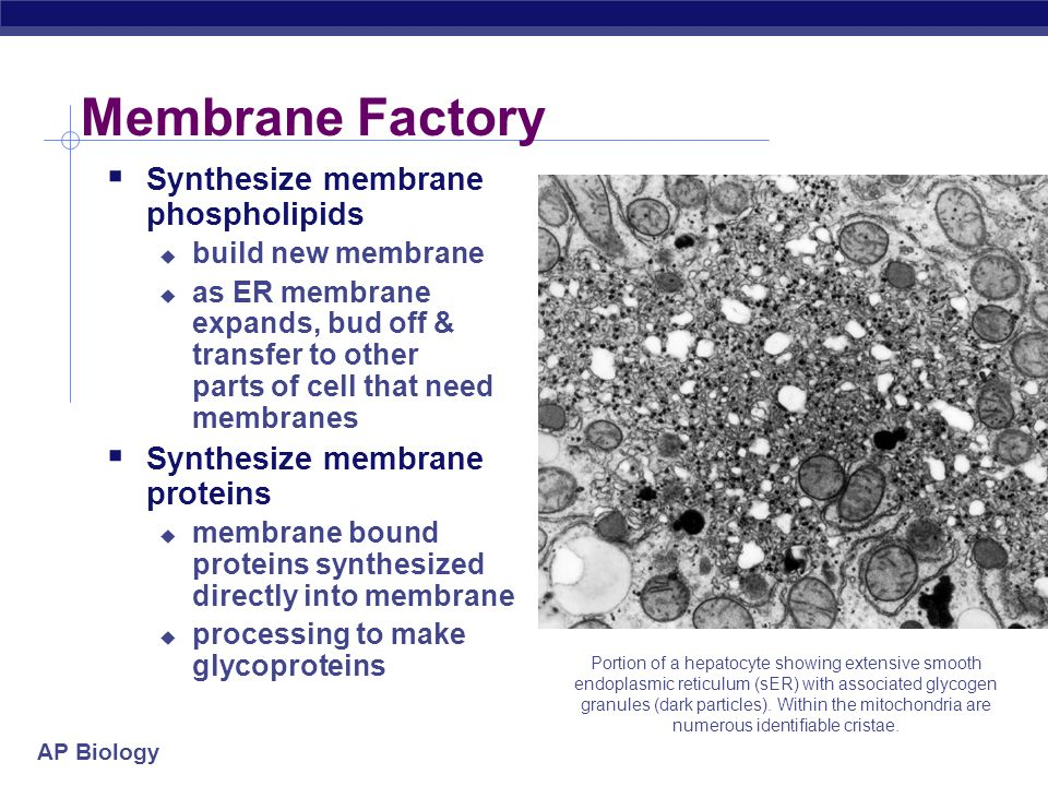 AP Biology 2005- 2006 Peroxisomes  Other digestive enzyme sacs  in both animals & plants  breakdown fatty acids to sugars  easier to transport & use as energy source  detoxify cell  detoxifies alcohol & other poisons  produce peroxide (H 2 O 2 )  must breakdown H 2 O 2  H 2 O