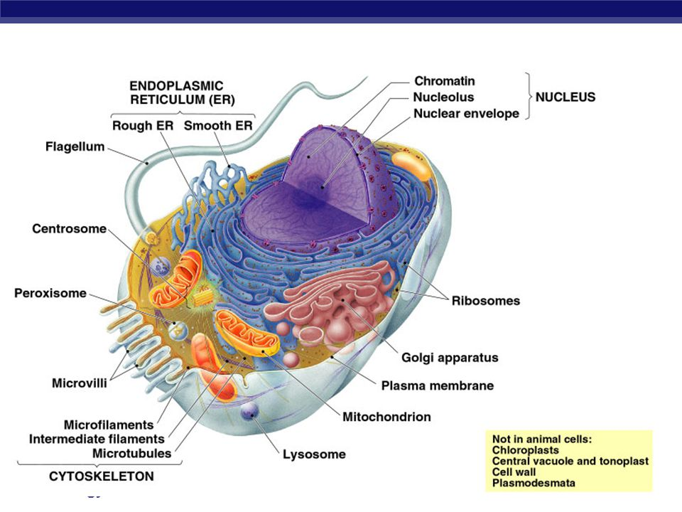 AP Biology Vacuoles & vesicles  Function  little transfer ships  Food vacuoles  phagocytosis, fuse with lysosomes  Contractile vacuoles  in freshwater protists, pump excess H 2 O out of cell  Central vacuoles  in many mature plant cells Let's go to the video tape! (play movie here)play movie here