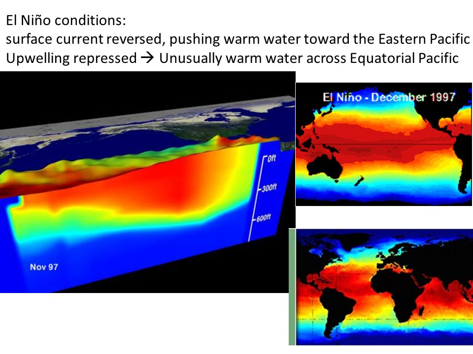 El Niño conditions: surface current reversed, pushing warm water toward the Eastern Pacific Upwelling repressed  Unusually warm water across Equatorial Pacific