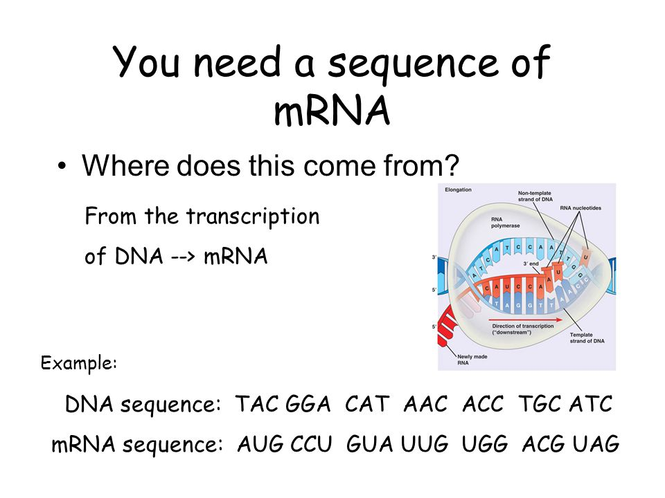 Transcription mRNA sequence leaves the nucleus and travels to the cytoplasm to a free floating ribosome or to the rough ER.