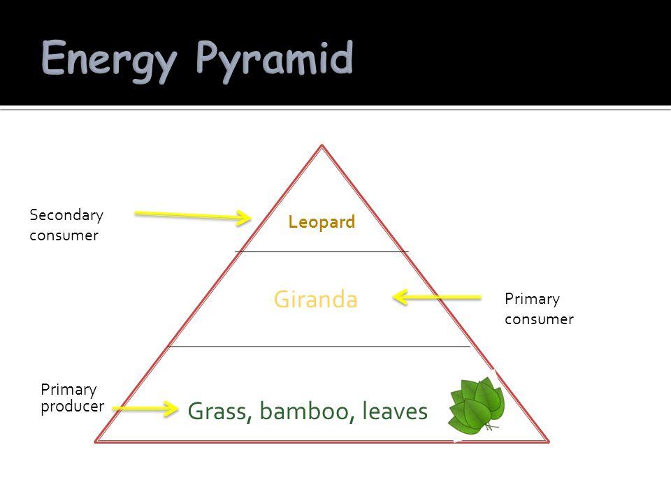 Primary producer Grass, bamboo, leaves Giranda Leopard Primary consumer Secondary consumer