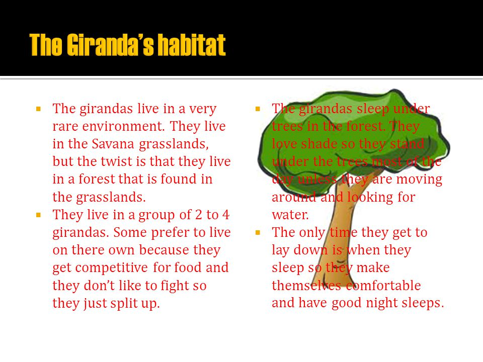  The girandas live in a very rare environment. They live in the Savana grasslands, but the twist is that they live in a forest that is found in the g
