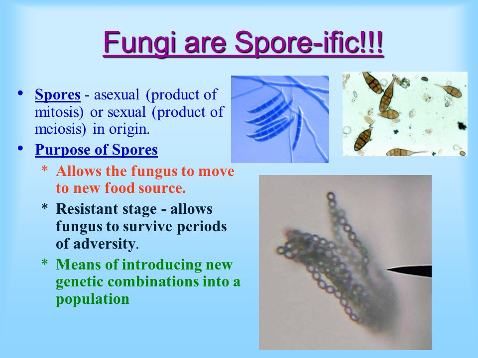 Fungi are Spore-ific!!! Spores - asexual (product of mitosis) or sexual (product of meiosis) in origin. Purpose of Spores *Allows the fungus to move t