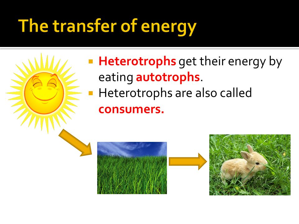  Heterotrophs get their energy by eating autotrophs.  Heterotrophs are also called consumers.
