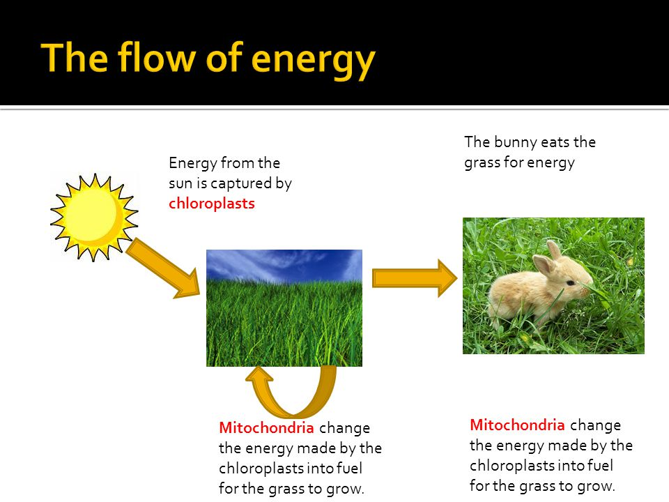 Energy from the sun is captured by chloroplasts Mitochondria change the energy made by the chloroplasts into fuel for the grass to grow. The bunny eat