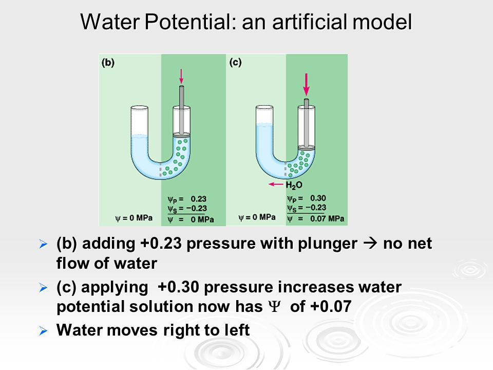Water Potential: an artificial model  (b) adding +0.23 pressure with plunger  no net flow of water  (c) applying +0.30 pressure increases water potential solution now has  of +0.07  Water moves right to left