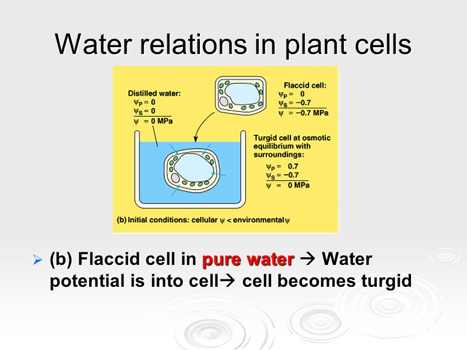 Water relations in plant cells  (b) Flaccid cell in pure water  Water potential is into cell  cell becomes turgid