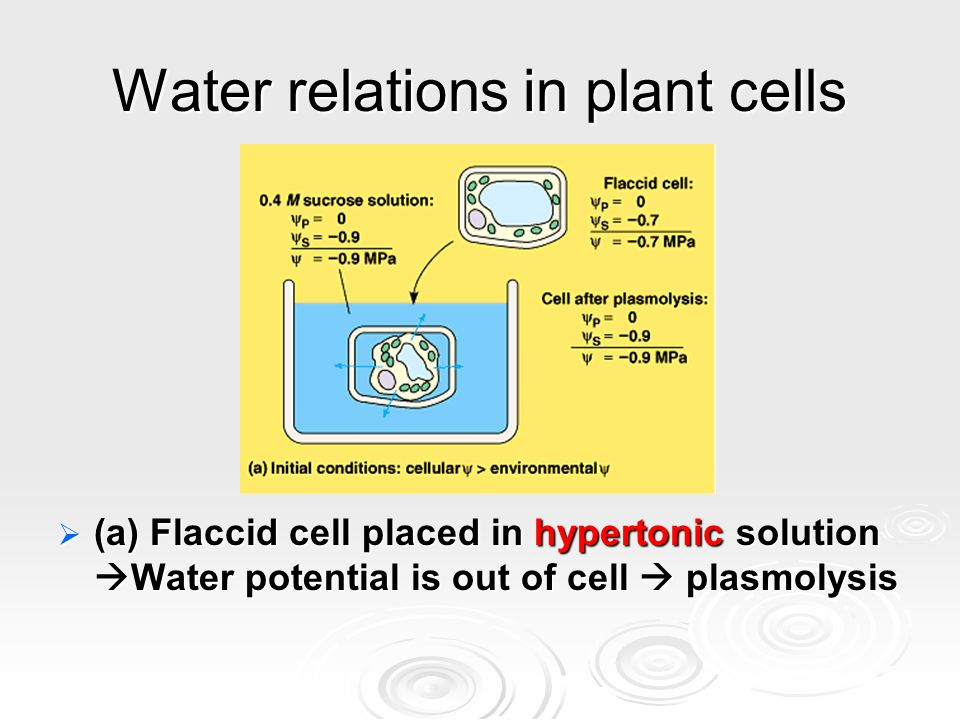 Water relations in plant cells  (a) Flaccid cell placed in hypertonic solution  Water potential is out of cell  plasmolysis