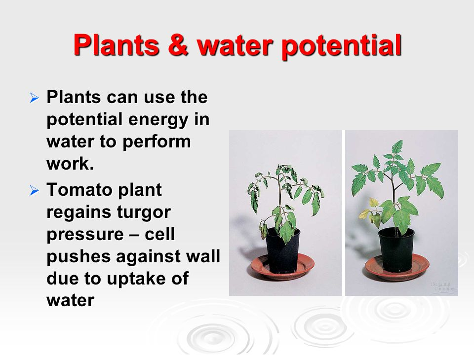Plants & water potential  Plants can use the potential energy in water to perform work.  Tomato plant regains turgor pressure – cell pushes against