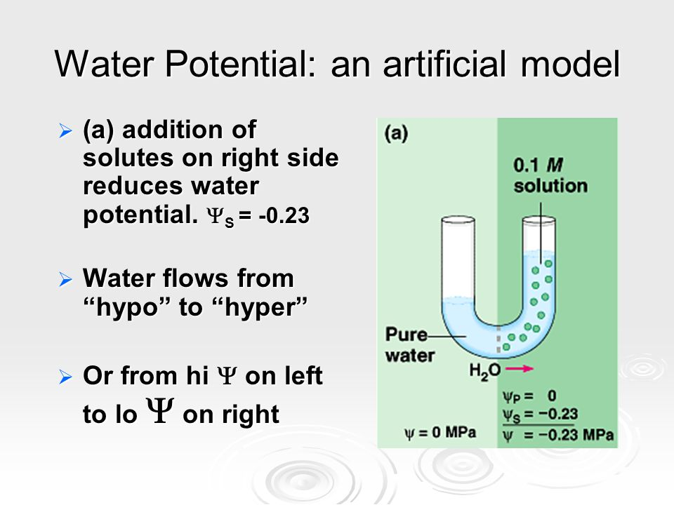 """Water Potential: an artificial model  (a) addition of solutes on right side reduces water potential.  S = -0.23  Water flows from """"hypo"""" to """"hyper"""""""