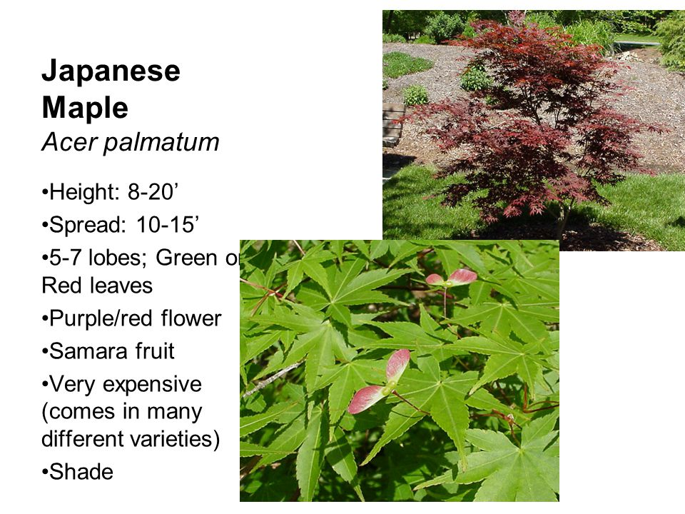 Japanese Maple Acer palmatum Height: 8-20' Spread: 10-15' 5-7 lobes; Green or Red leaves Purple/red flower Samara fruit Very expensive (comes in many