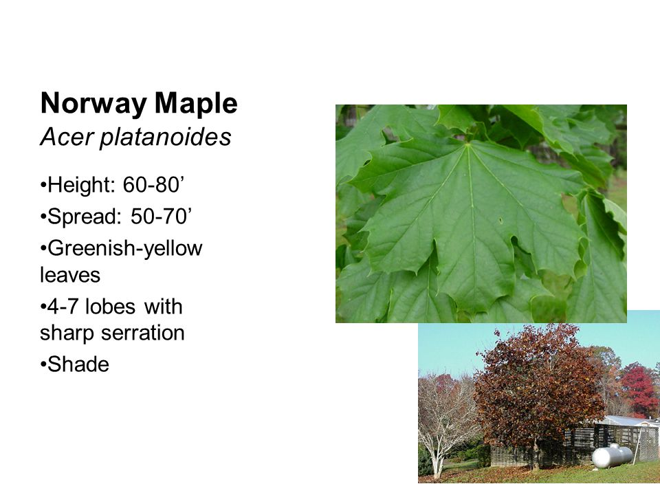 Red Maple Acer rubrum Height: 40-50' Spread: 25-35' Green leaves with red petioles 3-5 lobes Red cluster flower before leaves Sun-shade