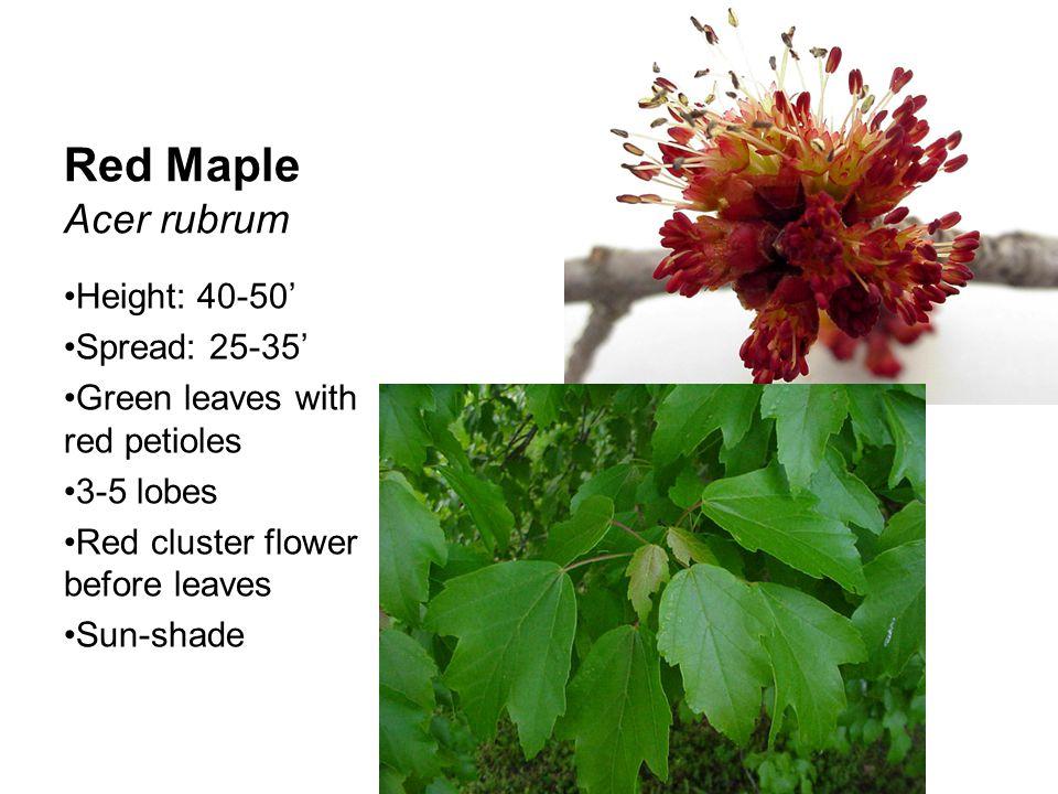 River Birch Betula nigra Height: 20-40' Spread: 16-20' Alternate leaves and double serrate Green, catkin flower Part shade Peeling bark Multi-stemmed trunk