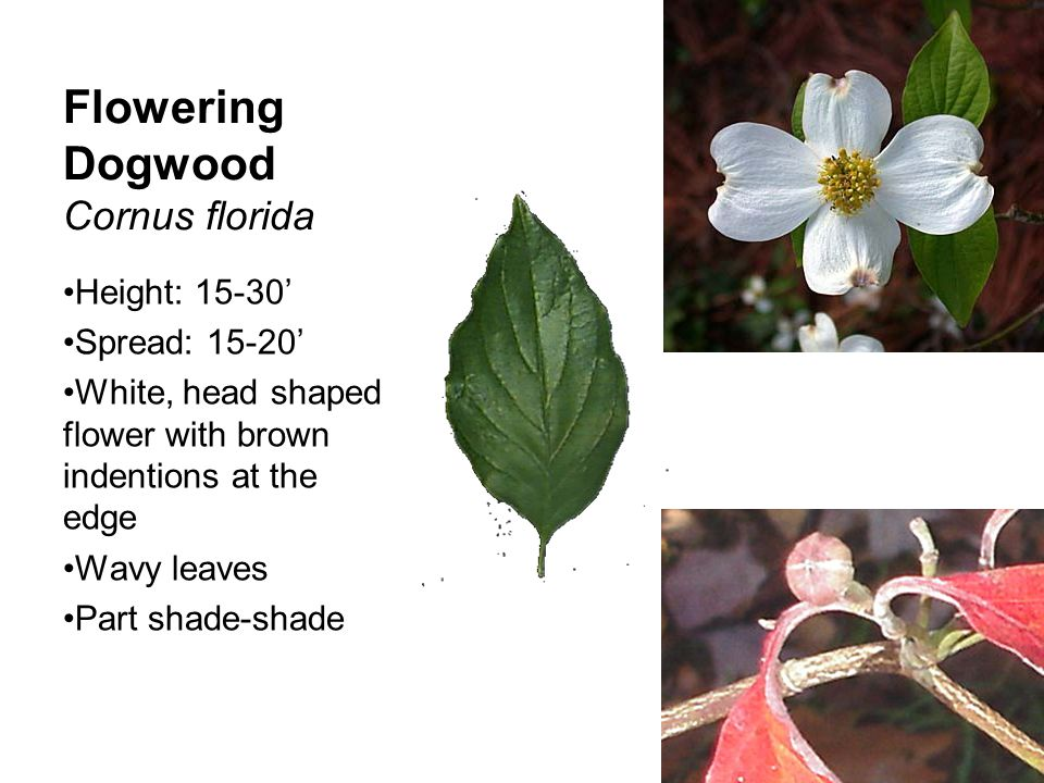 Chinese Dogwood Cornus kousa Height: 10-15' Spread: 10' Flower buds at mid- April 4 bracts that come to a point Raspberry type fruit Sun-part shade