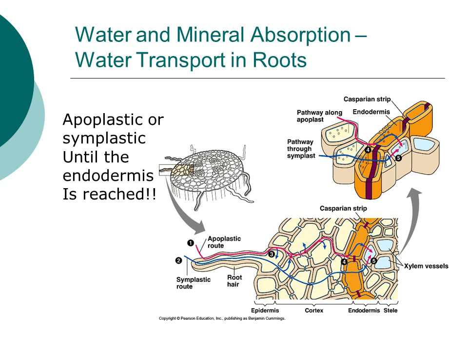 Water and Mineral Absorption – Water Transport in Roots Apoplastic or symplastic Until the endodermis Is reached!!