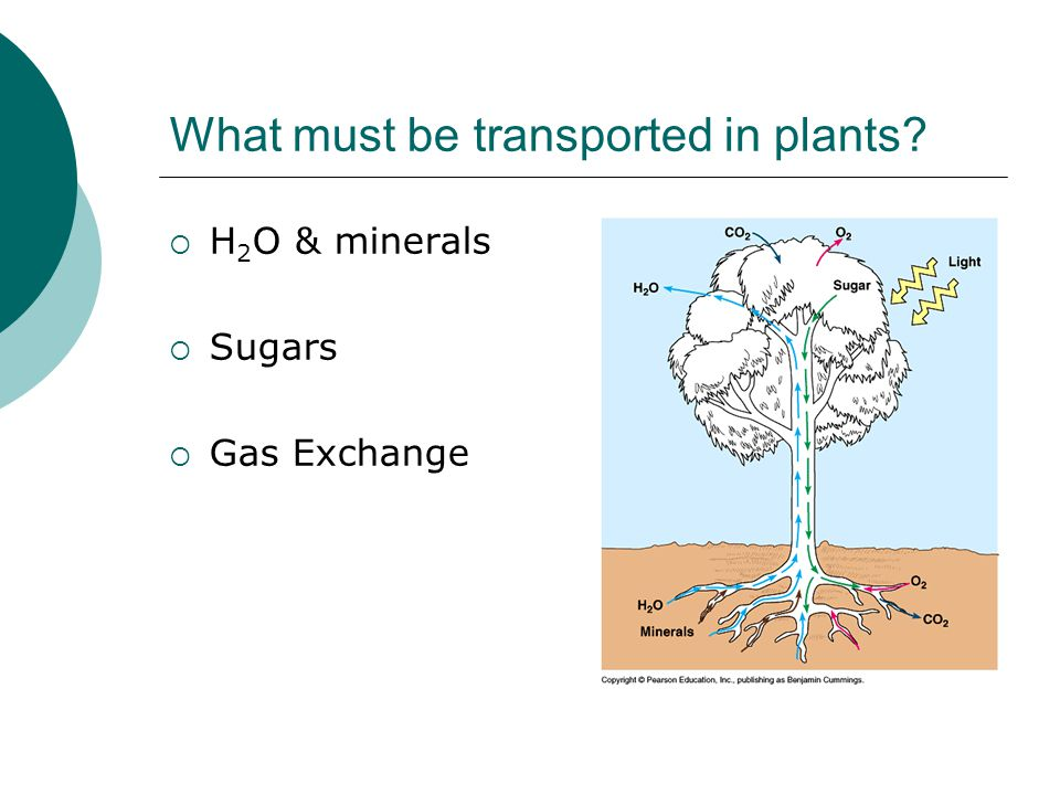 What must be transported in plants?  H 2 O & minerals  Sugars  Gas Exchange