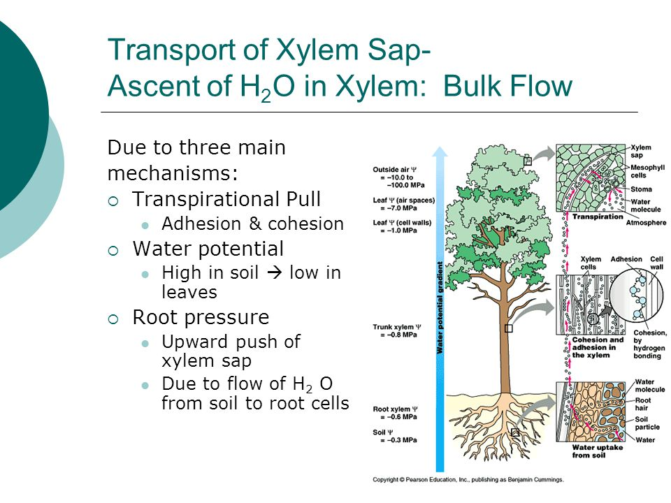 Transport of Xylem Sap- Ascent of H 2 O in Xylem: Bulk Flow Due to three main mechanisms:  Transpirational Pull Adhesion & cohesion  Water potential