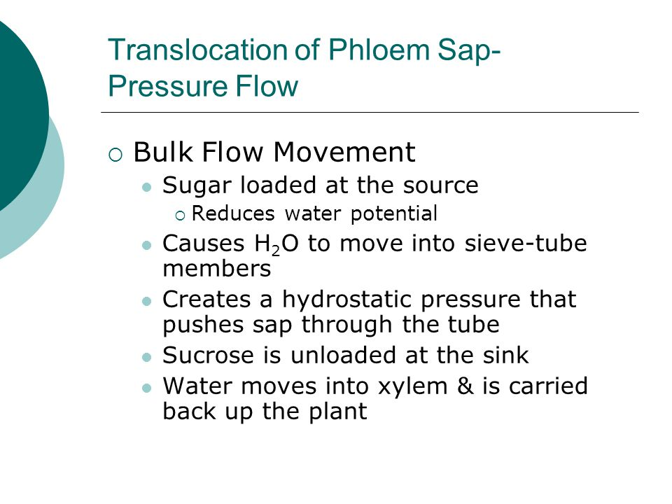 Translocation of Phloem Sap- Pressure Flow  Bulk Flow Movement Sugar loaded at the source  Reduces water potential Causes H 2 O to move into sieve-t
