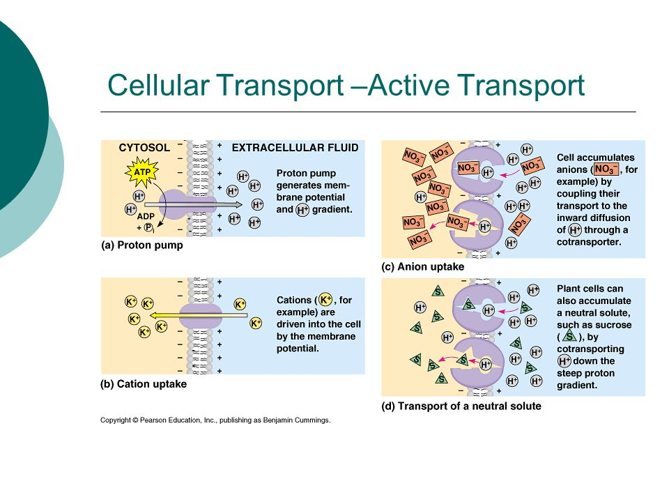 Cellular Transport –Active Transport