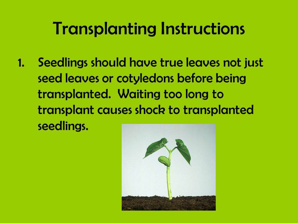 Transplanting Instructions 1.Seedlings should have true leaves not just seed leaves or cotyledons before being transplanted. Waiting too long to trans
