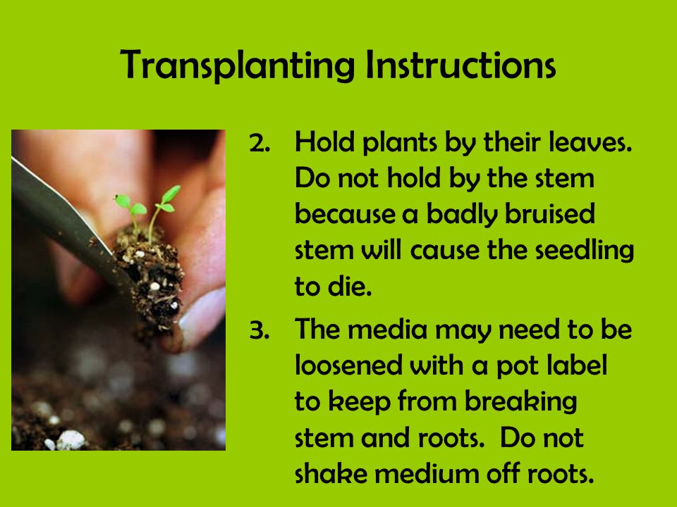 Transplanting Instructions 2.Hold plants by their leaves. Do not hold by the stem because a badly bruised stem will cause the seedling to die. 3.The m