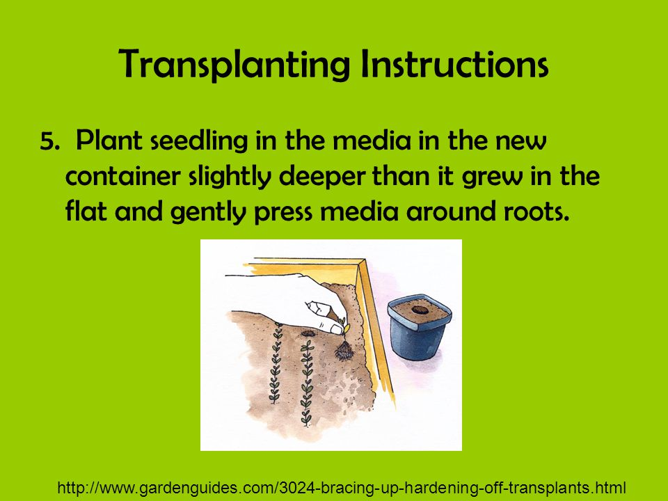 Transplanting Instructions 5. Plant seedling in the media in the new container slightly deeper than it grew in the flat and gently press media around