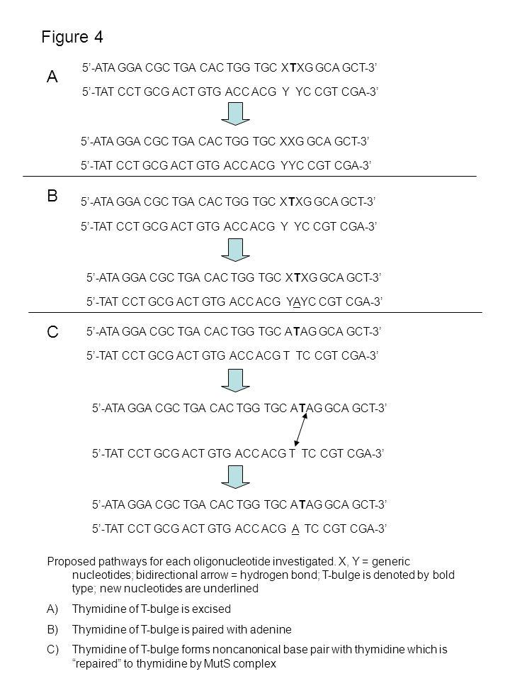 Figure 4 B A C 5'-ATA GGA CGC TGA CAC TGG TGC XTXG GCA GCT-3' 5'-TAT CCT GCG ACT GTG ACC ACG Y YC CGT CGA-3' 5'-ATA GGA CGC TGA CAC TGG TGC XXG GCA GC