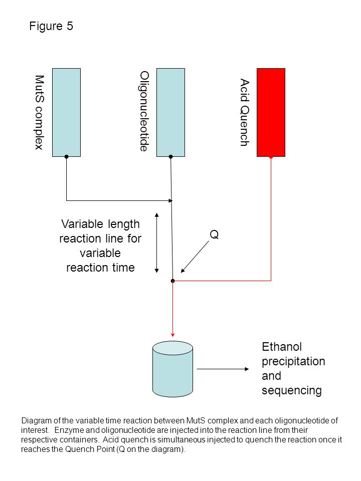 Figure 5 MutS complex Acid Quench Oligonucleotide Variable length reaction line for variable reaction time Ethanol precipitation and sequencing Diagram of the variable time reaction between MutS complex and each oligonucleotide of interest.