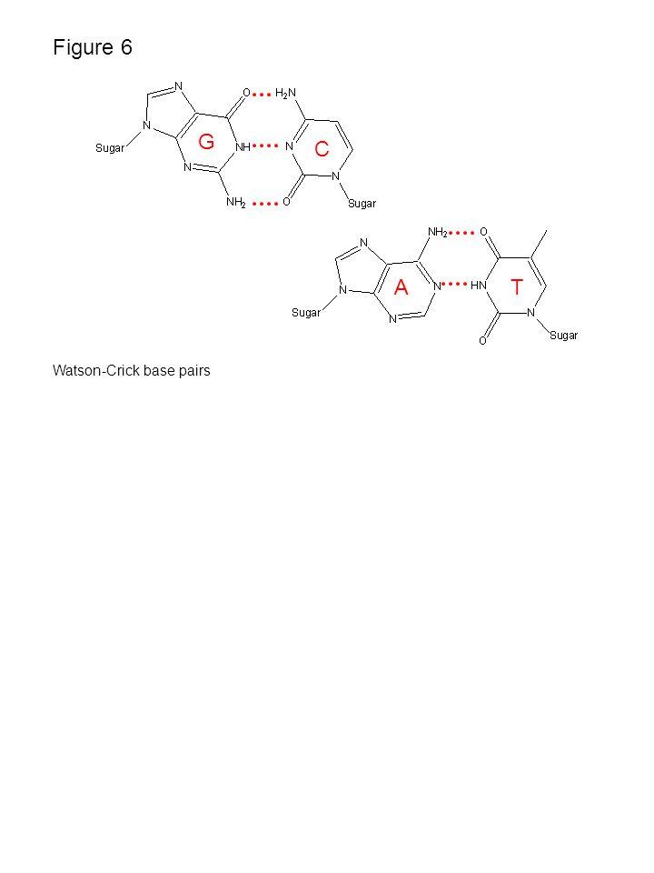 Figure 6 C G Watson-Crick base pairs TA