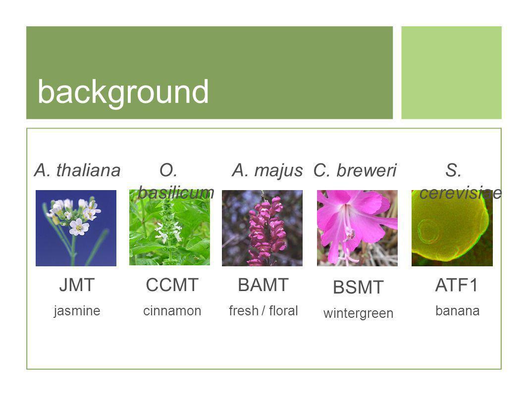 background O.basilicum CCMT cinnamon A. majus BAMT fresh / floral BSMT wintergreen C.