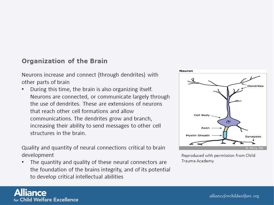 Neurons increase and connect (through dendrites) with other parts of brain During this time, the brain is also organizing itself. Neurons are connecte