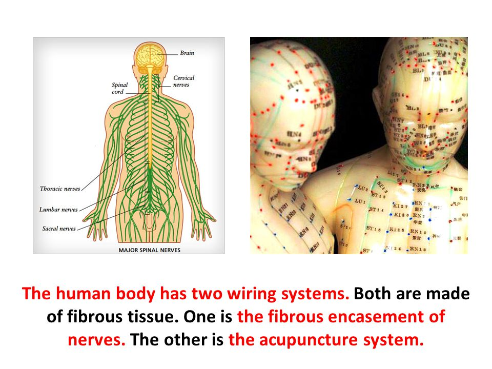 The human body has two wiring systems. Both are made of fibrous tissue. One is the fibrous encasement of nerves. The other is the acupuncture system.