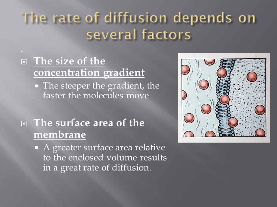  The size of the concentration gradient  The steeper the gradient, the faster the molecules move  The surface area of the membrane  A greater su